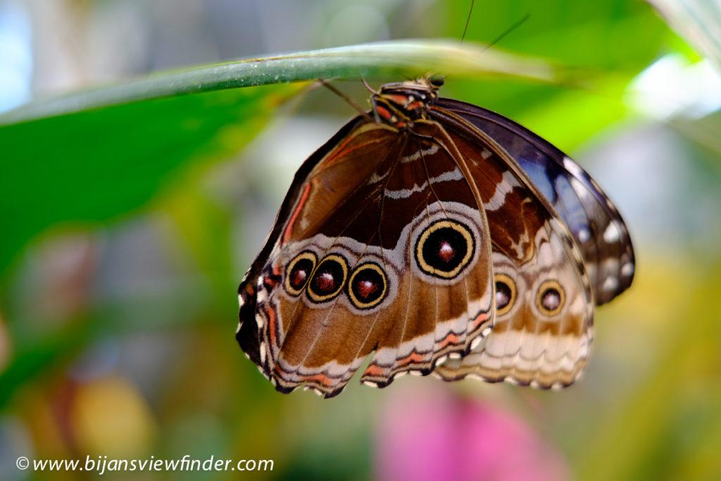 Nature Hershey Gardens Gossamer Winged Butterfly
