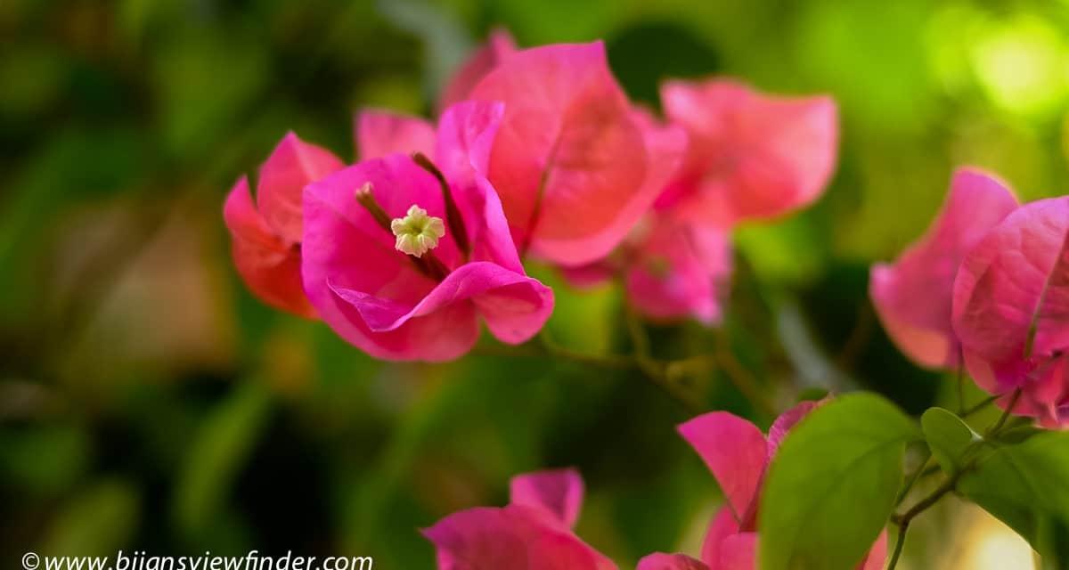 Nature Jardin Majorelle Bougainvillea